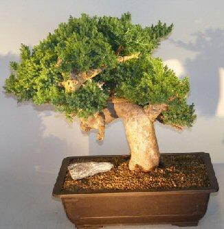 Image: Juniper Bonsai Tree - Phoenix Graft (juniper procumbens nana)