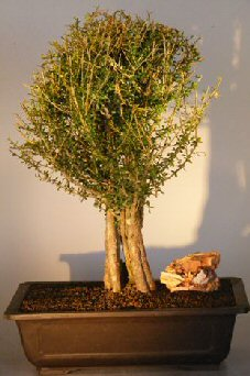 Image: Flowering Tropical Boxwood Bonsai Tree (neea buxifolia)