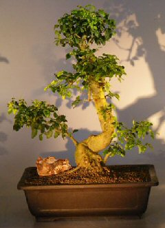 Image: Flowering Ligustrum Bonsai Tree (ligustrum lucidum)