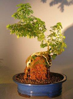 Texas ebony bonsai
