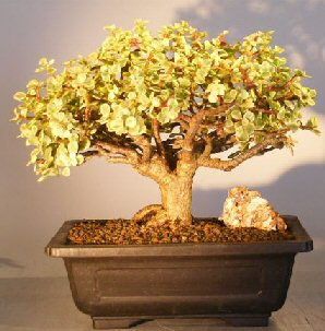 Baby Jade Bonsai Tree Variegated Portulacaria Afra Variegata