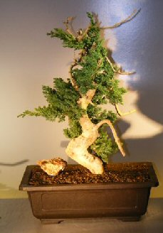 Image: Juniper Bonsai Tree - Phoenix Graft (juniper procumbens nana)