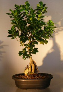 Ginseng ficus bonsai treeroot over rock style ficus retusa - Ficus microcarpa cuidados ...
