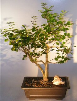 Image: Lavender Star Flower Bonsai Tree (Grewia Occidentalis)