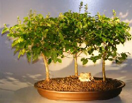 Image: Flowering Ligustrum Bonsai Tree Three (3) Tree Forrest Group (ligustrum lucidum)