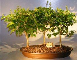 Image: Flowering Ligustrum Bonsai Tree Three (3) Tree Forrest Group (ligustrum lucidum)