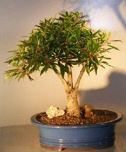 Image: Willow Leaf Ficus Bonsai Tree -  (Ficus Nerifolia/Salisafolia)