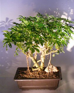 Hawaiian Umbrella Bonsai Tree Banyan Style Arboricola Schfflera Bonsai Trees Tools