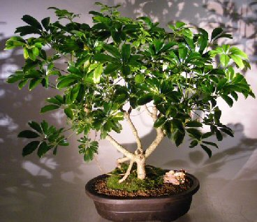 Image: Hawaiian Umbrella Bonsai Tree Banyan Style (arboricola schfflera)