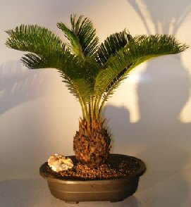 Sago Palm Bonsai Tree Cycas Revoluta