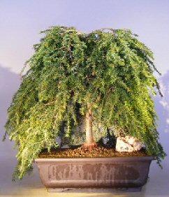Image: Dwarf Weeping Hemlock Bonsai Tree (Tsuga Canadensis) 'coles prostmate'
