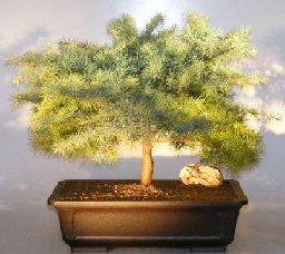 Image: Himalayan Cedar Bonsai Tree (cedrus deodara)