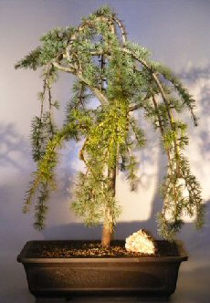 Image: Weeping Atlas Blue Cedar Bonsai Tree (cedrus glauca pendula)