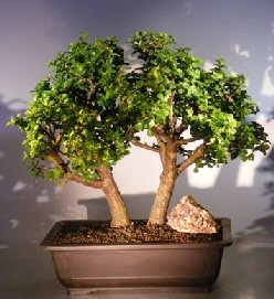 Image: Baby Jade Bonsai Tree - Double Trunk (Portulacaria Afra)