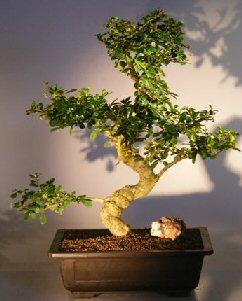 Image: Flowering Fukien Tea Bonsai Tree (ehretia microphylla)