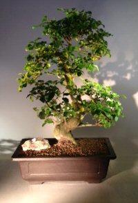 Image: Flowering Ligustrum Bonsai Tree (ligustrum lucidum)