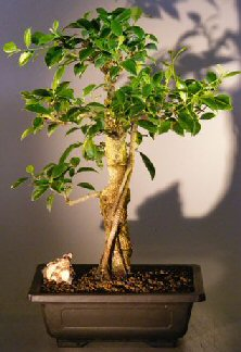Image: Ficus Retusa Bonsai Tree Banyan Style (ficus retusa)