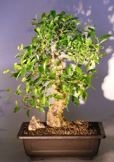 Image: Ficus Retusa Bonsai Tree Curved Trunk & Tiered Branching Style (ficus retusa)