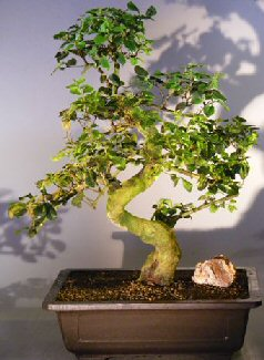 Image: Flowering Ligustrum Bonsai Tree Curved Trunk & Tiered Branching Style (ligustrum lucidum)
