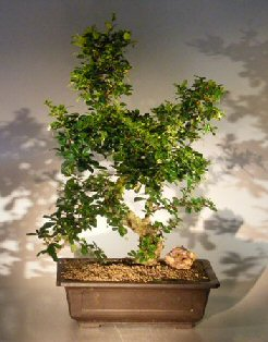 Image: Flowering Fukien Tea Bonsai Tree Curved Trunk & Tiered Branching Style (ehretia microphylla)