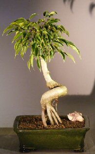 Image: Oriental Ficus Bonsai Tree Coiled Trunk with Banyan Roots (benjamina 'orientalis')
