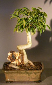 Image: Oriental Ficus Bonsai Tree Coiled Trunk with Banyan Roots (benjamina 'orientalis')
