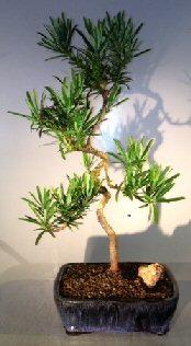 Image: Podocarpus Bonsai Tree Coiled Trunk (podocarpus macrophyllus)