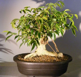 Image: Oriental Ficus Bonsai Tree Banyan Style (benjamina 'orientalis')