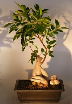 Ginseng Ficus Bonsai Tree(Ficus Retusa)