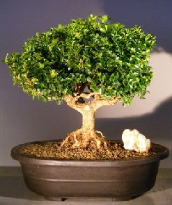 Japanese Kingsville Boxwood Bonsai Treewith Exported Roots Buxus Microphylla Compacta