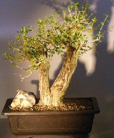 Flowering Tropical Boxwood Bonsai Treedouble Trunk Style Neea Buxifolia