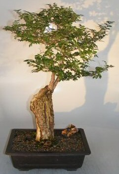 Cork Bark Elm Ulmus Neri