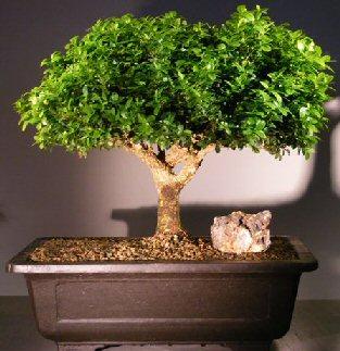 Japanese Kingsville Boxwood Bonsai Tree Buxus Microphylla