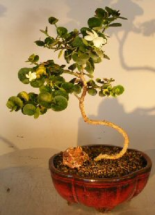 Flowering Dwarf Plum Bonsai Treewith A Curved Trunk