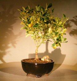 Variegated Orange Citrus Bonsai Tree Calamondin Variegata