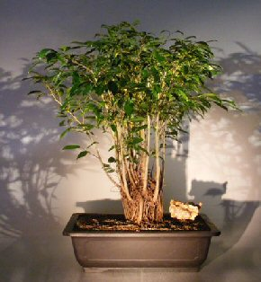 ficus bonsai tree forest group ficus benjamina. Black Bedroom Furniture Sets. Home Design Ideas