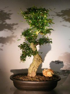 Flowering Fukien Tea Bonsai Tree Ehretia Microphylla