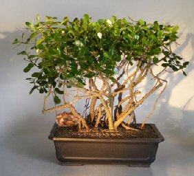 Flowering Tropical Dwarf Apple Bonsai Tree Banyan Style (clusia rosea 'nana') Apple, Apples, Apple Tree, Apple Trees, Dwarf Apple Tree, Fruit trees, Orchard Trees, Fruit Orchard