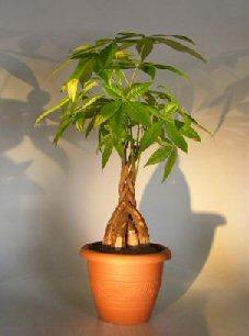 Money Bonsai Tree Braided Trunk Pachira Aquatica