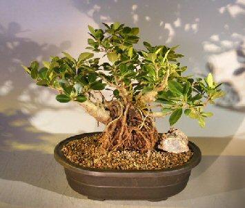 Green Emerald Ficus Bonsai Treebanyan Style Ficus Microcarpa