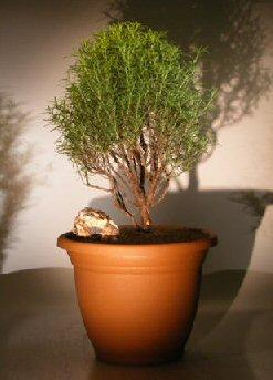 Flowering Rosemary Bonsai Tree Rosmarinus Officinalis