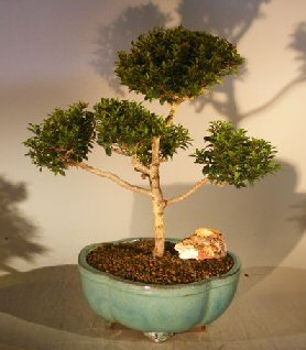 Brush Cherry (Pom-Pom) Style Bonsai Tree (eugenia myrtifolia) Cherry, Cherries, Cherry Tree, Cherry Trees, Cherries Tree, Bush Cherry, Dwarf Cherry, Fruit Trees