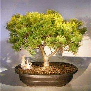 Japanese White Pine Bonsai Tree Pinus Strobus Soft Touch