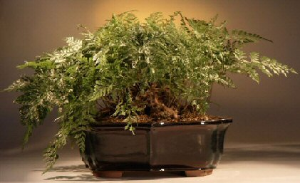 White Rabbit S Foot Fern Bonsai Tree Humata Tyermanii
