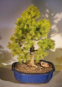 Dwarf Alberta Spruce Bonsai Tree Picea Glauca Conica
