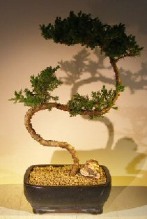 Juniper Bonsai Tree – Trained (juniper procumbens nana)