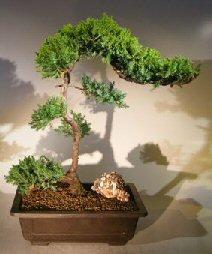 Juniper Bonsai Tree – Trained (juniper procumbens nana)