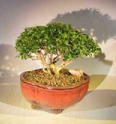 Japanese Kingsville Boxwood Bonsai Tree (buxus microphylla compacta)