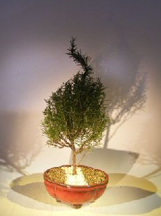 Flowering Rosemary Bonsai Tree (rosmarinus officinalis)