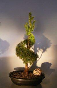 Dwarf Alberta Spruce Bonsai Tree Spiraled Trunk (Picea Glauca Conica)